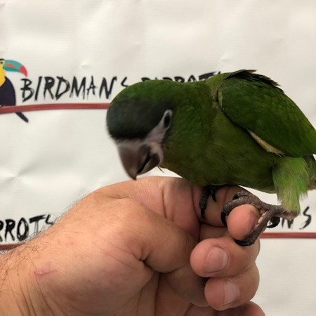 Hahn's Macaw for sale