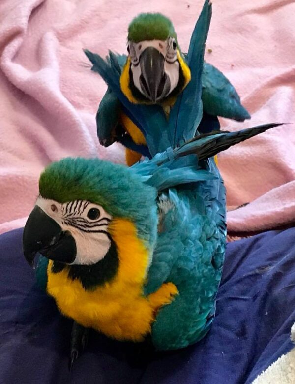 gold and blue macaw for sale
