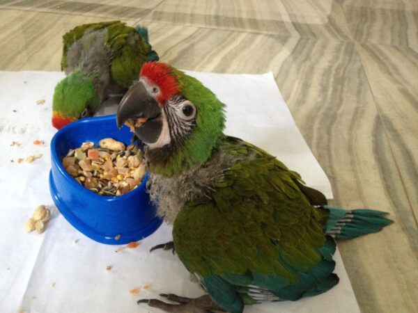 Military Macaw parrots