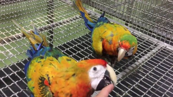 Catalina macaw parrots for sale