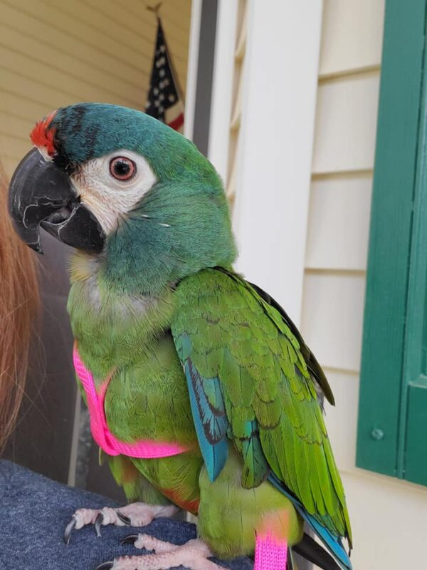 Illigers's macaw parrots for sale