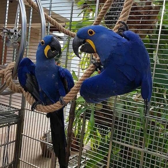 We have hand-raised and tamed Males and Females hyacinth macaw for sale
