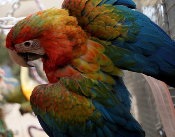 macaws and cockatoos for sale